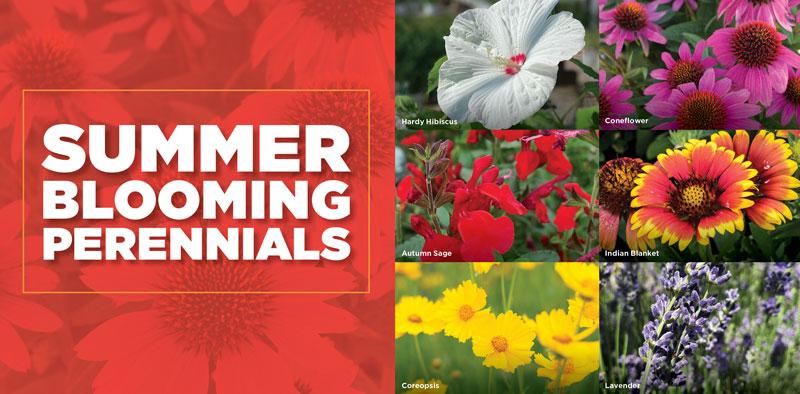 Summer Blooming Perennials | TLC Garden Centers