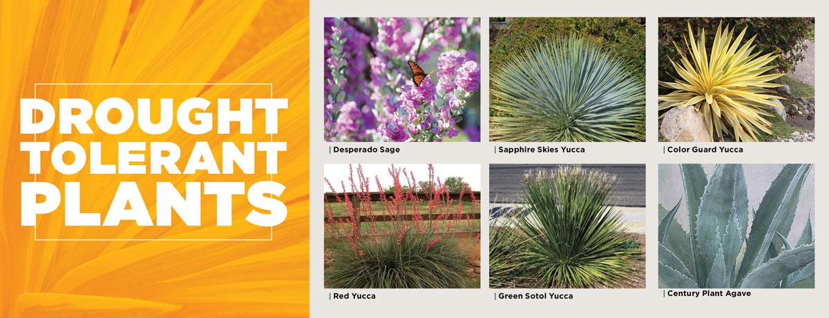 Drought Tolerant Plants   TLC Garden Center