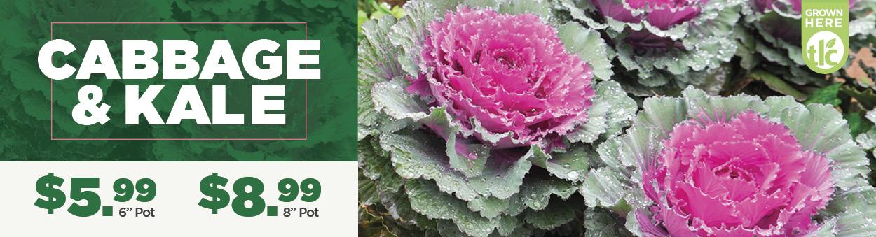 Cabbage   TLC Garden Center